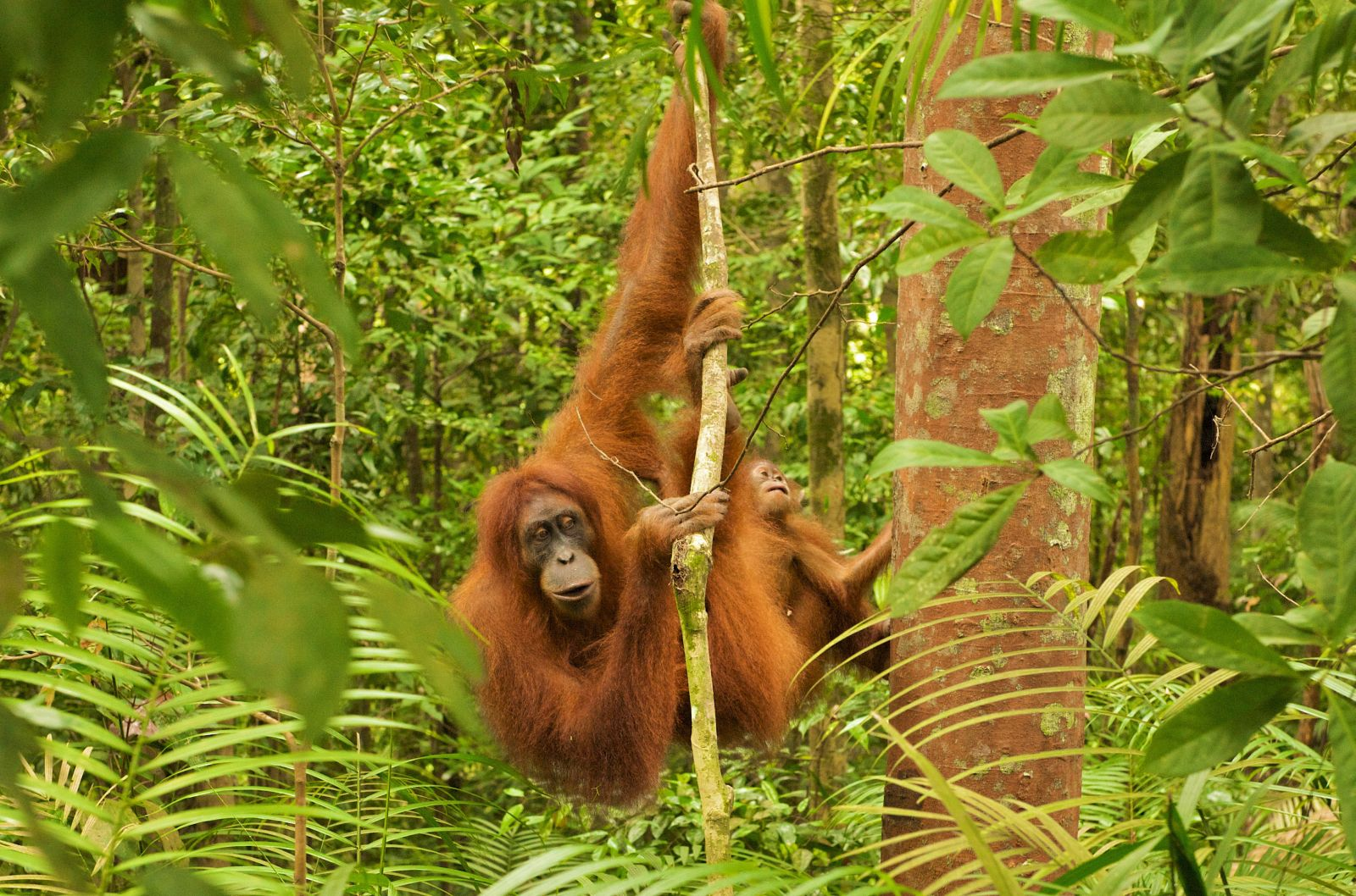 Sumatra 29.01.2011 - Orang Utan Weibchen mit Jungtier im Gunung Leuser Nationalpark in Nordsumatra (Indonesien). Female Orangutan with baby in the Gunung Leuser National Park, North Sumatra, Indonesia. © Oliver Salge/Greenpeace